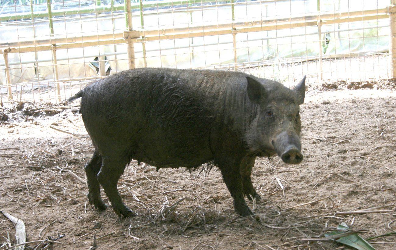猪と豚を交配させた、栄養価たっぷりのイノブタ